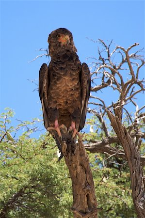 simsearch:400-04399778,k - Martial Eagle Stock Photo - Budget Royalty-Free & Subscription, Code: 400-05216458