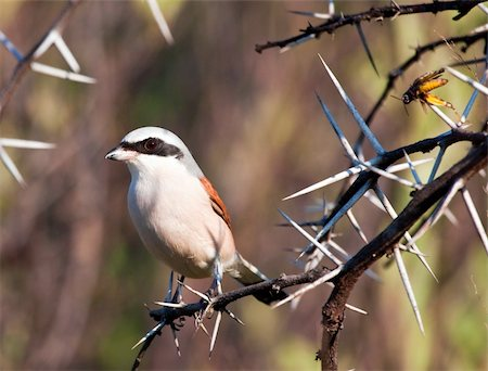 simsearch:400-04399778,k - Redbacked shrike with food stuck into thorns Stock Photo - Budget Royalty-Free & Subscription, Code: 400-05219872
