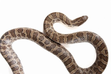 snake skin - snake isolated over white Stock Photo - Budget Royalty-Free & Subscription, Code: 400-05212674