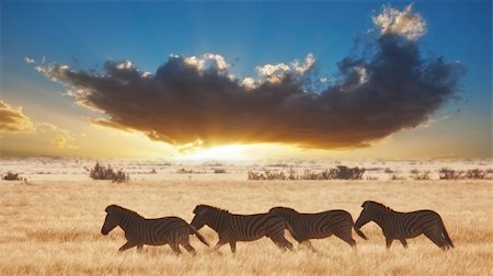 Zebra running in the Namibian desert in Africa Stock Photo - Budget Royalty-Free & Subscription, Code: 400-05228051