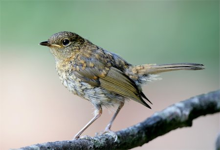 Portrait of a young Robin Stock Photo - Budget Royalty-Free & Subscription, Code: 400-05221072