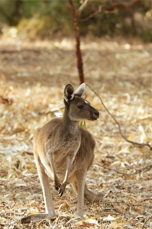 Kangaroo Animal in the Wild at Australia Stock Photo - Budget Royalty-Free & Subscription, Code: 400-05221289
