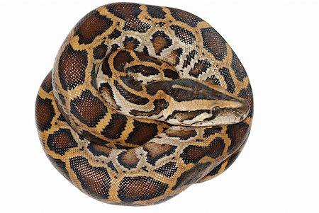 snake skin - boa snake isolated on white background Stock Photo - Budget Royalty-Free & Subscription, Code: 400-05258629