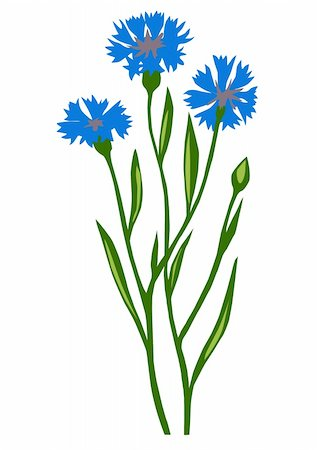 vector drawing of the flower cornflower on white background Stock Photo - Budget Royalty-Free & Subscription, Code: 400-05253479