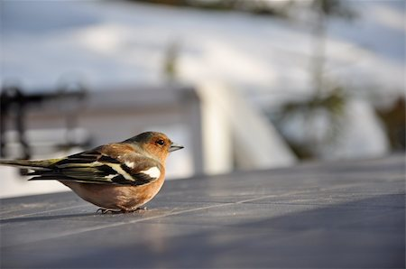 fringilla - This little chaffinch was recovering on a cabin table in Strandvik, Sweden. Stock Photo - Budget Royalty-Free & Subscription, Code: 400-05265507
