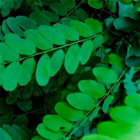 filigree tree - Detail of leaves of a robinia tree. Stock Photo - Budget Royalty-Free & Subscription, Code: 400-05276062