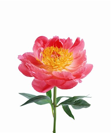 peonies background - Bright pink peony flower isolated on white background Stock Photo - Budget Royalty-Free & Subscription, Code: 400-05307801