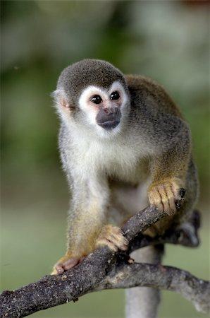 Monkeys from the amazon region Stock Photo - Budget Royalty-Free & Subscription, Code: 400-05301330