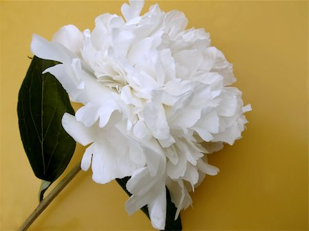 peonies background - beautiful flower peony. close-up Stock Photo - Budget Royalty-Free & Subscription, Code: 400-05314412