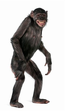 smiling chimpanzee - Mixed-Breed monkey between Chimpanzee and Bonobo, 8 years old, standing in front of white background Stock Photo - Budget Royalty-Free & Subscription, Code: 400-05314836