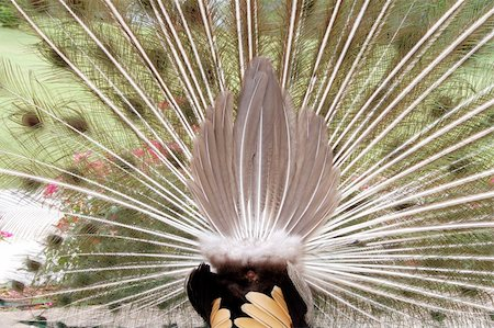 isolated closeup of a peacock dancing rear view Stock Photo - Budget Royalty-Free & Subscription, Code: 400-05335824