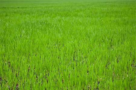 green grass on field close up for background Stock Photo - Budget Royalty-Free & Subscription, Code: 400-05346930