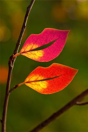 Autumn multicolored leaves in the shape of lips on the branch. backlight Stock Photo - Budget Royalty-Free & Subscription, Code: 400-05348073