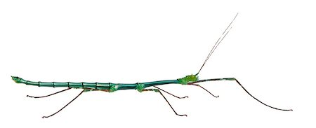 Myronides Sp, stick insect, in front of white background Stock Photo - Budget Royalty-Free & Subscription, Code: 400-05343518