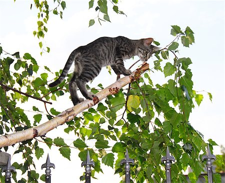 simsearch:400-04399778,k - gray cats on thin cut green birch branch over white background Stock Photo - Budget Royalty-Free & Subscription, Code: 400-05343698