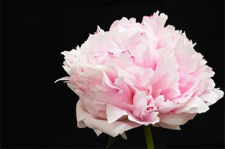peonies background - Pink peony blooms Stock Photo - Budget Royalty-Free & Subscription, Code: 400-05356773