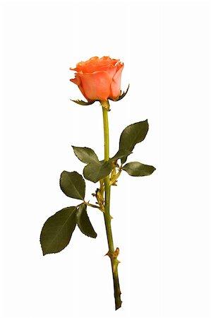dozen roses - rose isolated Stock Photo - Budget Royalty-Free & Subscription, Code: 400-05353231
