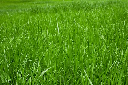 green grass macro close up for background Stock Photo - Budget Royalty-Free & Subscription, Code: 400-05374114
