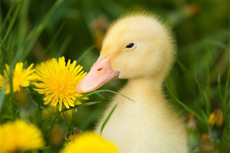 Small yellow duckling outdoor on green grass Stock Photo - Budget Royalty-Free & Subscription, Code: 400-05374112