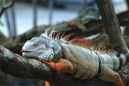 The beautiful iguana portrait against black background Stock Photo - Budget Royalty-Free & Subscription, Code: 400-05380440