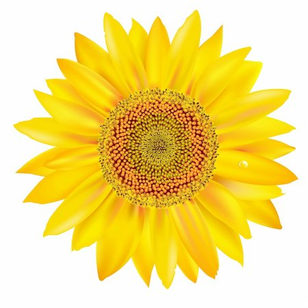 florist vector - Sunflower Petals Closeup, Isolated On White Background, Vector Illustration Stock Photo - Budget Royalty-Free & Subscription, Code: 400-05380833