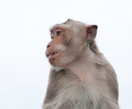 Thailand monkey in chonburi mountain , Eastern of Thailand Stock Photo - Budget Royalty-Free & Subscription, Code: 400-05383977