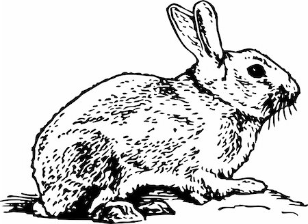 Jackrabbit isolated on white Stock Photo - Budget Royalty-Free & Subscription, Code: 400-05664727