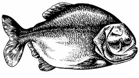 piranha fish - Piranha isolated on white Stock Photo - Budget Royalty-Free & Subscription, Code: 400-05666062