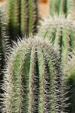 Cardon cacti closeup Stock Photo - Budget Royalty-Free & Subscription, Code: 400-05663646
