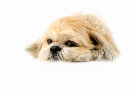 Image of a very cute Lhasa with puppy eyes on a white background Stock Photo - Budget Royalty-Free & Subscription, Code: 400-05678504
