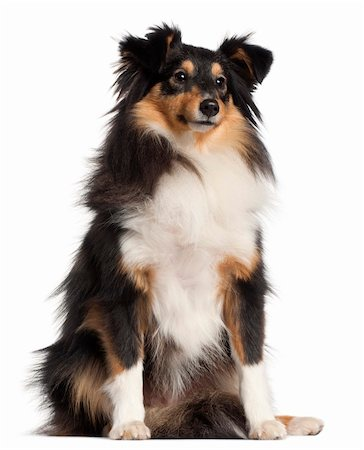 sheltie - Shetland Sheepdog, 1 year old, sitting in front of white background Stock Photo - Budget Royalty-Free & Subscription, Code: 400-05696120