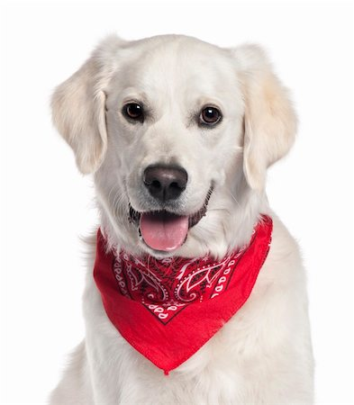 Close-up of Golden Retriever wearing red handkerchief, 9 months old, in front of white background Stock Photo - Budget Royalty-Free & Subscription, Code: 400-05697616