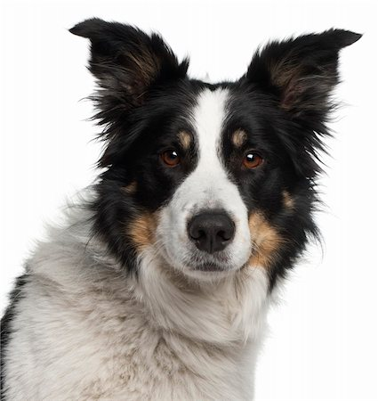 Close-up of Border Collie, 5 and a half years old, in front of white background Stock Photo - Budget Royalty-Free & Subscription, Code: 400-05697885