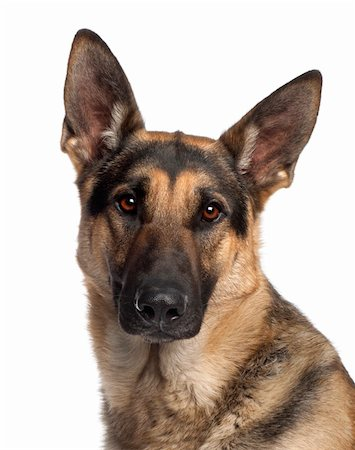Close-up of German Shepherd Dog, 2 and a half years old, in front of white background Stock Photo - Budget Royalty-Free & Subscription, Code: 400-05697908