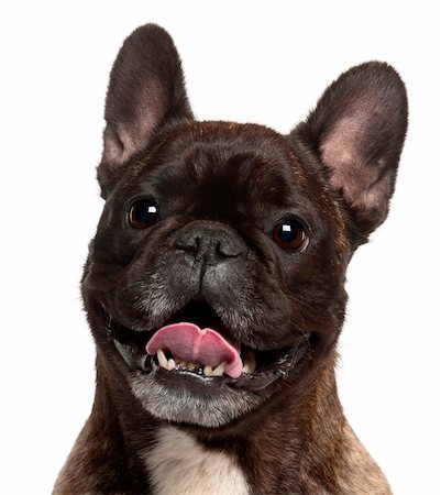 Close-up of French Bulldog panting, 5 years old, in front of white background Stock Photo - Budget Royalty-Free & Subscription, Code: 400-05698004