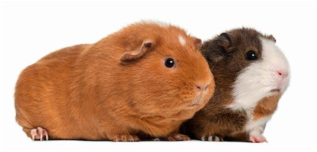 Guinea pigs, 9 months old, in front of white background Stock Photo - Budget Royalty-Free & Subscription, Code: 400-05698217