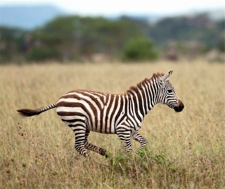 Zebra running in Serengeti National Park, Tanzania, Africa Stock Photo - Budget Royalty-Free & Subscription, Code: 400-05698393