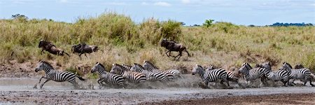 Zebra crossing a river in Serengeti National Park, Tanzania, Africa Stock Photo - Budget Royalty-Free & Subscription, Code: 400-05698400