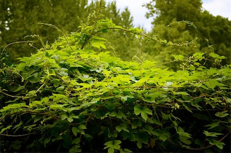 Bush green ivy in the forest or garden Stock Photo - Budget Royalty-Free & Subscription, Code: 400-05692561