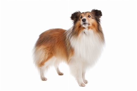 sheltie - Shetland sheepdog in front of a white background Stock Photo - Budget Royalty-Free & Subscription, Code: 400-05711345