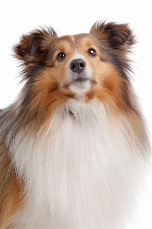 sheltie - Shetland sheepdog in front of a white background Stock Photo - Budget Royalty-Free & Subscription, Code: 400-05711346