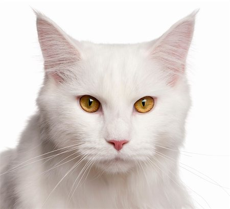 Maine Coon cat, 8 months old, sitting in front of white background Stock Photo - Budget Royalty-Free & Subscription, Code: 400-05726952