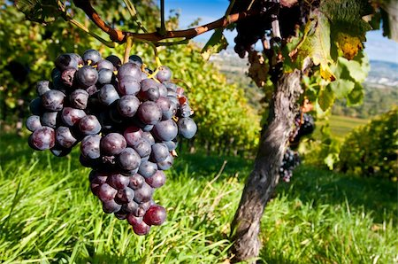 photohomepage - Red grapes in a German vineyard Stock Photo - Budget Royalty-Free & Subscription, Code: 400-05722293