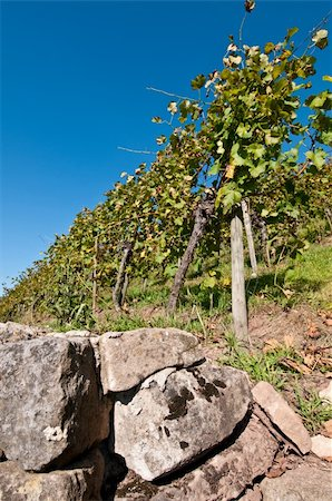 photohomepage - Wall in a vineyard with grapes and a blue sky Stock Photo - Budget Royalty-Free & Subscription, Code: 400-05723515