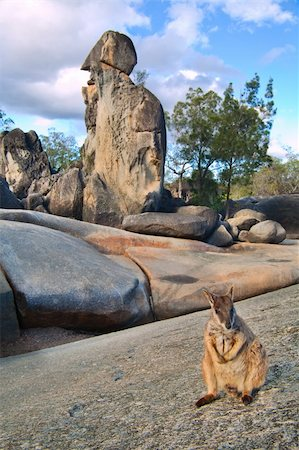 rock wallaby on rock formations tablelands queensland Australia a small kangaroo marsupial animal Stock Photo - Budget Royalty-Free & Subscription, Code: 400-05735778