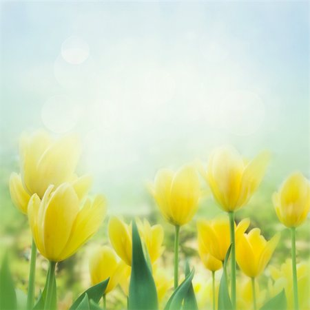 flower greeting - Spring background with beautiful  yellow tulips Stock Photo - Budget Royalty-Free & Subscription, Code: 400-05739542