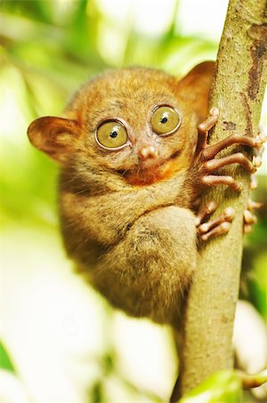 Tarsier monkey in natural environment Stock Photo - Budget Royalty-Free & Subscription, Code: 400-05744582