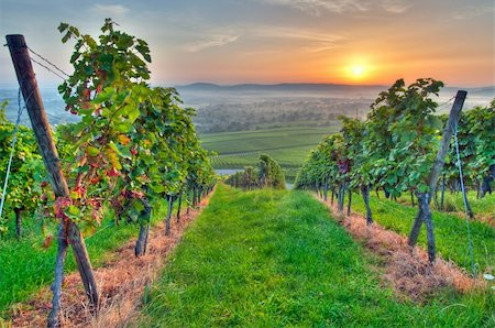 photohomepage - Morning sun in vineyard in Germany Stock Photo - Budget Royalty-Free & Subscription, Code: 400-05742270