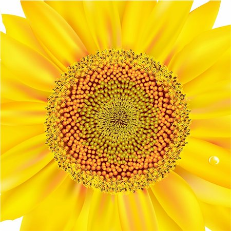 florist vector - Sunflower, Isolated On White Background, Vector Illustration Stock Photo - Budget Royalty-Free & Subscription, Code: 400-05742472