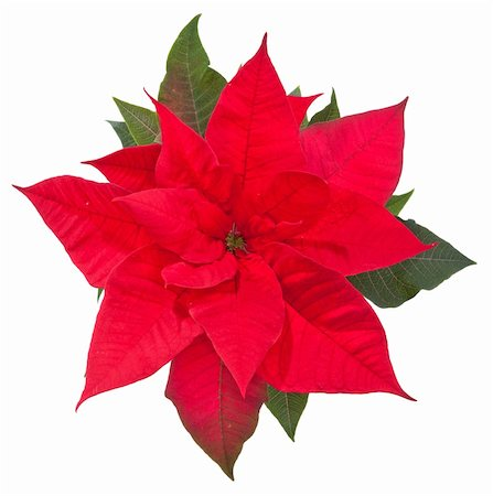 poinsettia flower on white background, top view Stock Photo - Budget Royalty-Free & Subscription, Code: 400-05753483